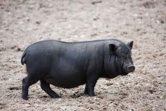 Porc vietnamien de ventre balloné Photos libres de droits