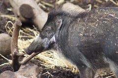 Porc Warty de Visayan - cebifrons de Sus Image libre de droits