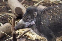 Porc Warty de Visayan - cebifrons de Sus Photos stock