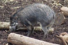 Porc Warty de Visayan - cebifrons de Sus Photo libre de droits