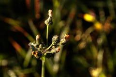 Porca-cardo Flor do campo Fotos de Stock
