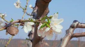 Porca da amêndoa e flores brancas - conceito da madureza & do frescor filme