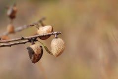 Porca da amêndoa que cresce na árvore de amêndoa Imagens de Stock