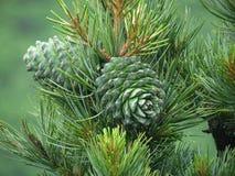 Porca de cedro, verde do cone do pinho Pinhão, protuberância do pinho, madeira do cedro Fotografia de Stock