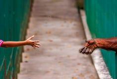 Porca de jogo para o orangotango no jardim zoológico Imagens de Stock
