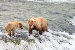 Porca do Alasca e filhote do urso marrom Foto de Stock
