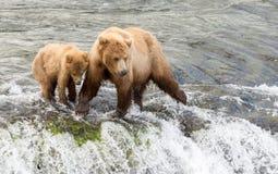 Porca do Alasca e filhote do urso marrom Imagem de Stock