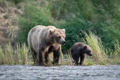 Porca do Alasca e filhote do urso marrom fotos de stock royalty free