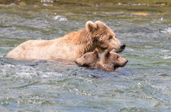 Porca do Alasca e filhotes do urso marrom imagem de stock royalty free