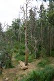 Porca do Alasca do urso marrom com os filhotes na árvore Fotografia de Stock