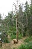 Porca do Alasca do urso marrom com os filhotes na árvore Fotos de Stock Royalty Free
