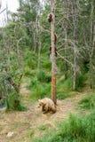 Porca do Alasca do urso marrom com os filhotes na árvore Fotos de Stock