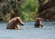 Porca do Alasca do urso marrom e dois filhotes imagem de stock royalty free