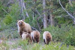 Porca do urso com objetivas triplas Foto de Stock
