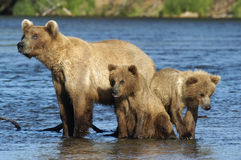 Porca do urso de Brown e seus dois filhotes Imagem de Stock