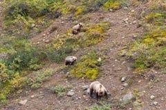 Porca e Cubs do urso pardo que alimentam em Alaska imagem de stock royalty free