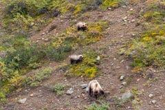 Porca e Cubs do urso pardo que alimentam no outono fotos de stock royalty free
