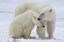 Porca e filhote do urso polar imagem de stock royalty free