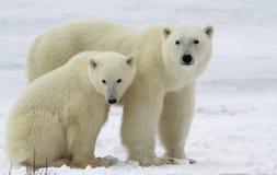 Porca e filhote do urso polar imagens de stock