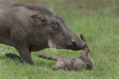 Porca e leitão do javali africano Foto de Stock