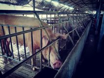 Porca na fazenda de criação imagem de stock