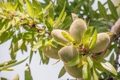 Porcas de Almond's na árvore imagem de stock royalty free