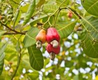 Porcas de caju que crescem em uma árvore Fotos de Stock Royalty Free