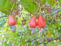 Porcas de caju que crescem em uma árvore Imagem de Stock