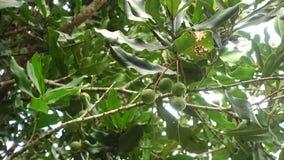 Porcas de macadâmia que penduram na árvore vídeos de arquivo