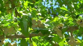 Porcas de nogueira-do-Japão quase maduras ou maduras na árvore video estoque