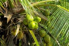 Porcas verdes dos cocos que crescem em uma palma Imagem de Stock Royalty Free