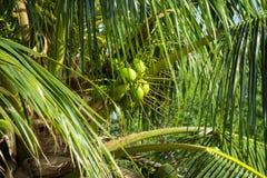 Porcas verdes dos cocos que crescem em uma palma Fotografia de Stock Royalty Free