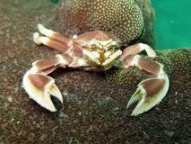 Porcelain Anemone Crab - Neopetrolisthes maculatu Royalty Free Stock Photos