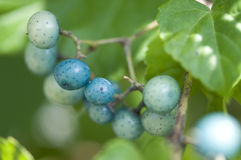Porcelain  berries Royalty Free Stock Photography