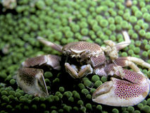 Porcelain Crab Stock Photos