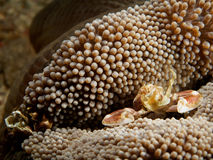 Porcelain crab on the anemone Royalty Free Stock Photography