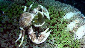 Porcelain crab  on anemone with clown fish and shrimps stock footage