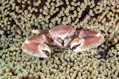 Porcelain crab and clown fish inside anemone Stock Images
