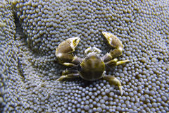 Porcelain Crab Cohabits in Sea Anemone off Padre Burgos, Leyte, Philippines. The diving around the small but vibrant town of Padre Burgos, is a real paradise for Stock Images