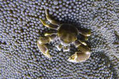 Porcelain Crab Cohabits in Sea Anemone off Padre Burgos, Leyte, Philippines. The diving around the small but vibrant town of Padre Burgos, is a real paradise for Royalty Free Stock Image