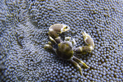 Porcelain Crab Cohabits in Sea Anemone off Padre Burgos, Leyte, Philippines. The diving around the small but vibrant town of Padre Burgos, is a real paradise for Stock Image