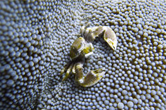 Porcelain Crab Cohabits in Sea Anemone off Padre Burgos, Leyte, Philippines. The diving around the small but vibrant town of Padre Burgos, is a real paradise for Stock Photography