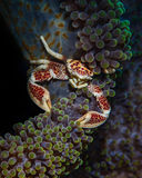 Porcelain Crab Stock Images