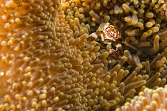 Porcelain crab Stock Photography