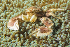 Porcelain crab Stock Image