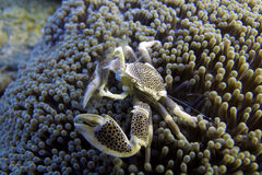 Porcelain Crab in luminescent Sea Anemone off Padre Burgos, Leyte, Philippines royalty free stock photos