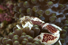 Porcelain crab nestling in tentacles of host anemone Stock Image