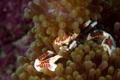 Porcelain Crab, Phillipines. Porcelain Crab in anemone, Phillipines underwater image Royalty Free Stock Photo