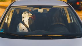 Porcelain dog statue with a seat belt on inside a car stock photos