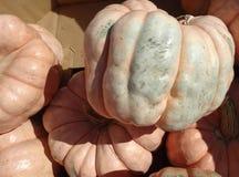 Porcelain doll pumpkin, Cucurbita maxima Stock Photography